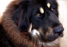 Tibetan Mastiff INFJ MBTI personality types to dog breeds. British Mastiff, English Mastiff, Giant Dog Breeds, Giant Dogs, Dogue Du Tibet, Tibetan Mastiff Dog, Most Expensive Dog, Mastiff Puppies, Types Of Dogs