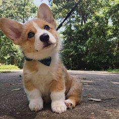 Cute Corgi Puppy, Corgi Dog, Cute Dogs And Puppies, Baby Puppies, Baby Dogs, Corgi Plush, Puppies Puppies, Teacup Puppies, Dachshund Puppies