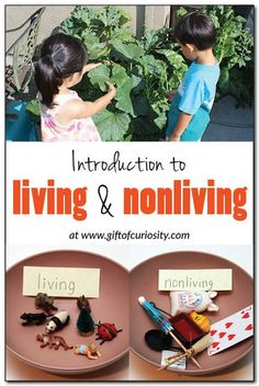 Introduction to living and nonliving:   Most children can identify living and nonliving objects with a good deal of accuracy, but many can't explain WHY something is living or nonliving. Check out the hands-on, Montessori-inspired activities we did to explore the concept of living and nonliving. #handsonscience #Montessori || Gift of Curiosity