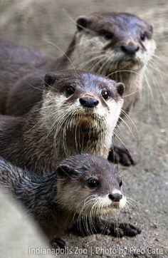 Asian small-clawed otters live in our Forests exhibit.