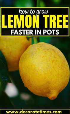 Lemon Tree Potted, Citrus Trees, Potted Trees, Indoor Trees, Gardening For Beginners, Gardening Tips, Growing Lemon Trees, Growing Plants, Lemon Tree From Seed