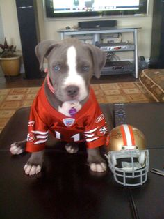 Maia the pit bull is a KTVU 49er pet fan! Photo sent by Gerald Maranan