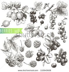 Great hand drawn illustrations of berries isolated on white background. by Liliya Shlapak, via Shutterstock