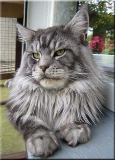 Maine Coon The Foreigner
