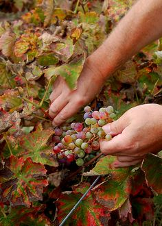 Wine Harvest on the Greek island of Crete