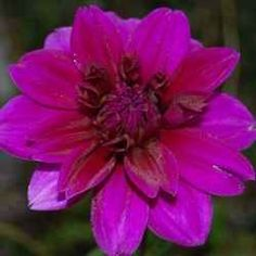 There are few flowers as beautiful as Dahlias in the Summer and Autumn garden. With a vast array of shapes, sizes and colors, Dahlias give a lot...