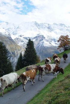 Murren, Switzerland.... you cannot imagine it unless you've been there. The faint sound of hundreds of distant cow bells against such stunning scenery.