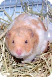 Brooklyn, NY - Hamster. Meet Hamsters, a pet for adoption. http://www.adoptapet.com/pet/8159133-brooklyn-new-york-hamster