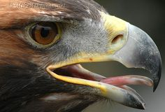 Golden eagle by Mike Atkinson