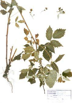 Rubus strigosus raspberry