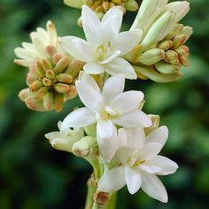 'The Pearl' Polianthus Bulbs