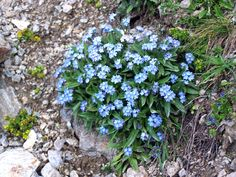 forget me not flowers - Google Search