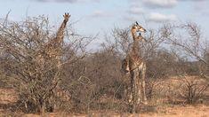 YouTube All Inclusive Resorts, Mammals, Giraffe, Safari, Africa, Explore, Youtube, Photography, Life