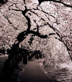 Cherry Blossom tree in Washington DC