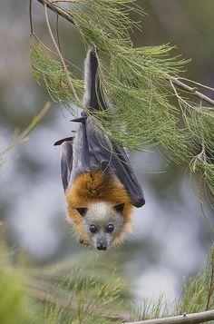 Grey-headed Flying Foxes, Australia by AusBatPerson