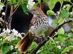 Brown Thrasher (Toxostoma rufum) Female - perched in a flowering apple tree