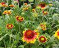 SmartScape Plant Details - Blanket Flower