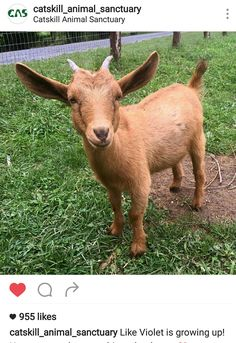 15 Best Violet, the baby goat  ❤ images in 2016 | Baby
