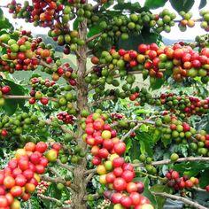 Flor del café (Coffea arábica) El Salvador,( no oficia).