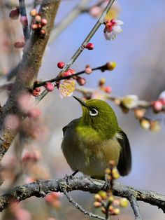 Japanese Whiteeye.