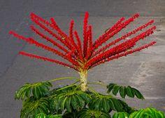Brassaia. (Schefflera actinophylla)
