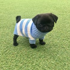 Does your dog love you? Dog behaviors have a lot of hidden meanings but here's 15 tricks that are proven to confirm if your dog loves you or not Cute Baby Pugs, Black Pug Puppies, Cute Little Puppies, Cute Dogs And Puppies, Cute Little Animals, Cute Funny Animals, Baby Black Pug, Pug Dogs, Terrier Puppies