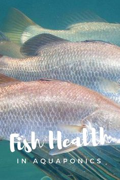 Fish health is imperative to a working aquaponics system. If your fish seem unhealthy, this could indicate an issue with the balance of your aquaponics system. Find out some common causes of illness in fish, and how to remedy them.