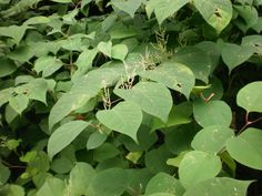 Japanese knotweed for the treatment of Lyme Disease