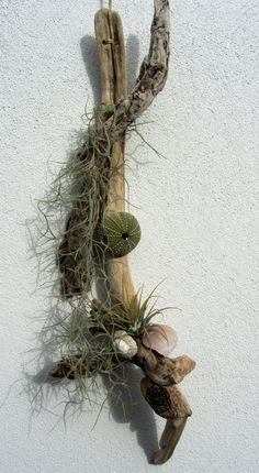 Two air plants Tillandsia and Driftwood by DriftwoodDecorByBeth on Etsy Air Plants, Driftwood, Sea Shells, Christmas Wreaths, Handmade Items, Holiday Decor, Pictures, Etsy, Ideas