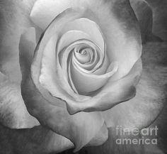 Black and White Rose Loriannah-Hespe.artistwebsites.com
