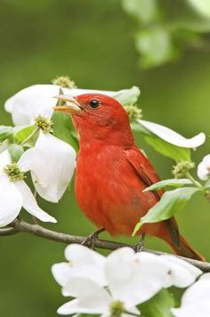 Discover why you should be listening for these top-notch types of songbirds.Summer Tanager by Bill Leman