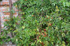Johannisbeer Tomaten Edible Garden, Outdoor Structures, Plants, Tomatoes, Vegetable Gardening, Flora, Vegetable Garden, Plant