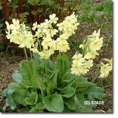 Primula elatior (Wilde-Schlüsselblume) Bild 2