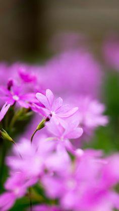 桜草 Primrose