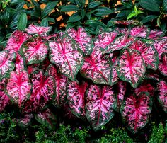 Caladiums for the north shade garden or in container gardening (shaded). Caladiums for the north shade garden or in container gardening (shaded). Begonia, Perennial Bulbs, Foliage Plants, Flowering Plants, Landscape Plans, Landscape Designs, Plantar, Farm Gardens, Shade Plants