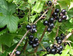 SOLBÆR - Ribes nigrum
