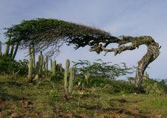 Divi Divi Tree - Other & Nature Background Wallpapers on Desktop Nexus (Image 481773)