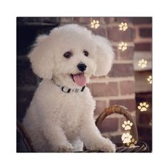 Poodle Puppies For Sale, Teacup Puppies, Cute Dogs And Puppies, Baby Dogs, I Love Dogs, Teacup Chihuahua, Doggies, Malteser, Labrador Retriever Dog