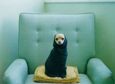 swaddled dog on turquoise chair. LOL