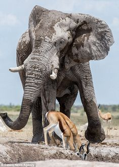 Throwing a tan-trunk! Elephant pushes impalas out of the way to get watering hole all to himself in Botswana Elephant Anatomy, Bull Elephant, Elephant Love, Elephant Photography, Animal Photography, Wildlife Photography, African Elephant, African Animals, Nature Animals