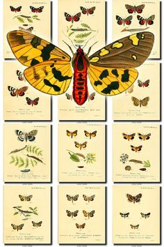 BUTTERFLIES-23 Collection of 70 vintage illustrations