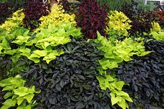 Stunning combination: chartreuse and black sweet potato vines with  chartreuse and dark burgundy coleus. While other flowers are fading, sweet potato vine will still be going strong in Autumn, filling the garden with vibrant color!