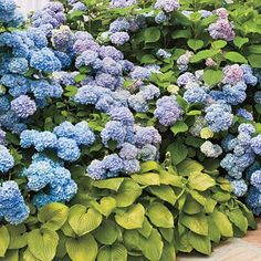 Hydrangeas and Hostas.  Perfect for the shady spot in the yard.