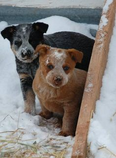 Blue and Red Heeler puppies (Australian Cattle Dog) | KS Ranch, Wyoming