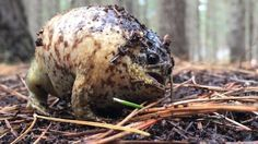 It's a screamer!: Frog squeals loudly when humans come close