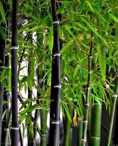 Phyllostachys nigra Featuring stunning jet black canes which begin green, changing to black with sun exposure. Small green leaves contrast beautifully with these jet black canes making Nigra the perfect garden centrepiece. Also ideal for an eye catching hedge or screen and looks classy in a decorative pot. For best colour, plant in a sunny position. Will tolerate coastal conditions and withstand temperatures below zero. The only black bamboo that will grow well in pots.