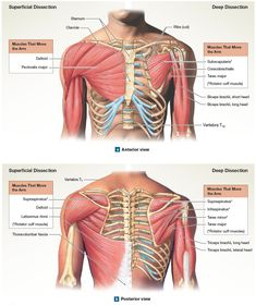 Diagram Of Muscles Of The Arm Diagram Muscles Arm Bones Diagram And In The Simple Of Muscle To. Diagram Of Muscles Of The Arm Gallery Arm Muscle Diagram Labeled Anatomy And Physiology. Diagram Of Muscles Of The Arm Arm Labeled… Continue Reading → Arm Muscle Anatomy, Arm Anatomy, Human Body Anatomy, Human Anatomy And Physiology, Upper Limb Anatomy, Human Muscular System, Anatomy Flashcards, Muscle Diagram, Forearm Muscles