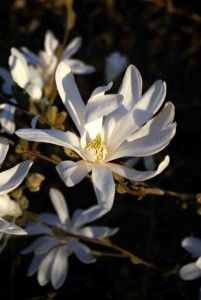It's the Magnolia time of year again – every other garden boasts eye-catching, head-turning starry flowers. Magnolia stellata is one of my favourites.