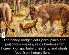 Honey badger is a badass bad-ger Funny Animal Memes, Funny Animals, Funny Jokes, Cute Animals, Fierce Animals, Animal Humor, Tier Zoo, Animal Pictures, Funny Pictures