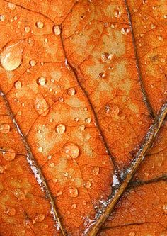 Fall Leaf - Water droplets and veins on a vibrant orange autumn leaf. Autumn Rain, Autumn Leaves, Orange Leaf, Orange Color, Orange Orange, Theme Nature, Jaune Orange, Dont Forget To Smile, Don't Forget